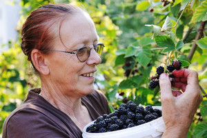 Blackberry picking by senior female worker