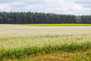 Blooming buckwheat field. Natural polish landscape