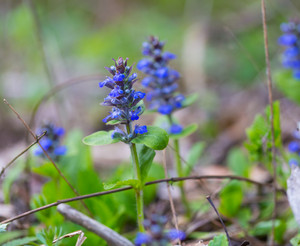 Blooming bugle plant. Wild blue flowers growing in forest.