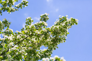 Blooming bush of hawthorn. Beautiful white springtime blooming tree