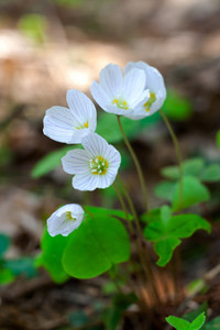 Blooming sorrel flowers at springtime. White flowers background