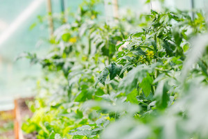 Blooming twigs of tomatoes growing in greenhouse. Production of natural ecologic vegetables