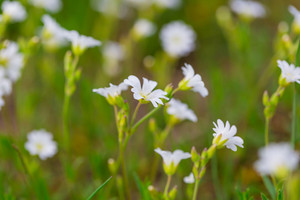 Blooming white flowers of chickweed in green grass. Nature springtime flowers background.