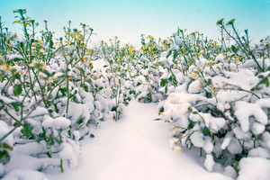 Blossom rapeseed field covered with snow
