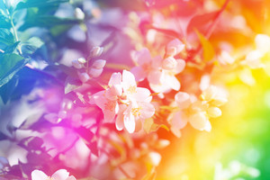 Blossoming apple branch with rainbow effect