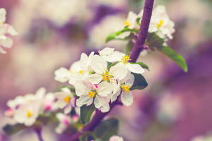 Blossoming apple tree after rain. Vintage color correction
