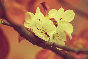 Blossoming apple tree. Vintage color correction