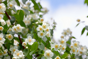 Blossoming jasmine bush against sky