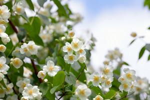 Blossoming jasmine bush against sky