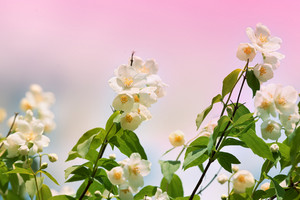 Blossoming jasmine bush at sunrise