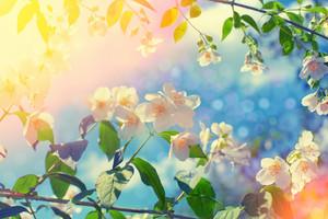 Blossoming jasmine bush at sunset