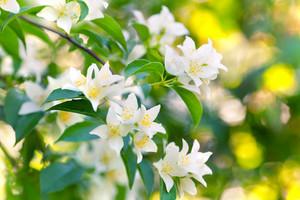 Blossoming jasmine bush