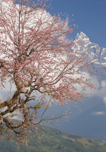 Blossoming pink tree and a snow-capped mountain peak