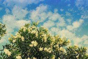 Blossoming rhododendron bush against sky with clouds