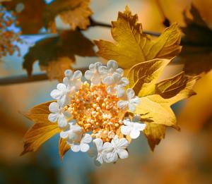 Blossoming viburnum