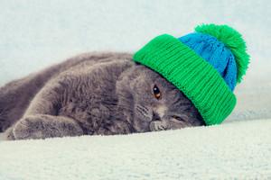 Blue British Shorthair kitten in knitted hat lying on a blanket