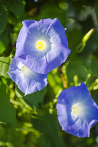 Blue Colored Morning Glory Flowers