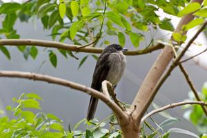 Blue Gray Tanager Bird