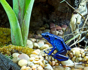 Blue Poison Arrow Frog 146