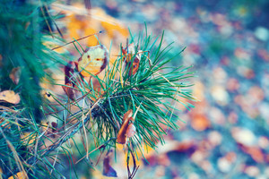 Blue vintage pine branch with fallen leaves in autumn