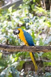 Blue yellow macaw