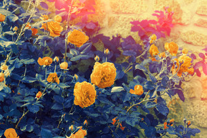 Blue-yellow vintage roses bush