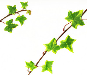 Border Made Of Green Ivy Isolated On White Background