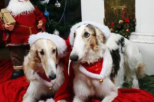 borzoi dogs sending christmas greetings