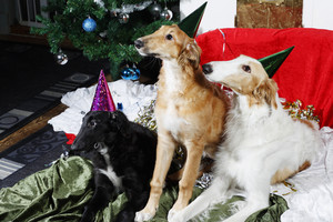 Borzoi puppies and a happy new year