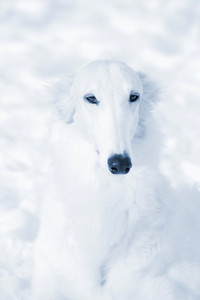Borzoi sight hounds, russian breed