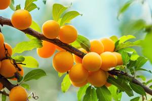 Branch of organic yellow plum