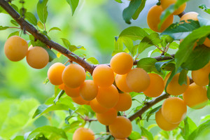 Branch of organic yellow plums