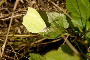 Brimstone Butterfly Leaf