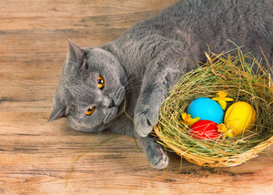 British short hair cat sleeping near basket with colored eggs