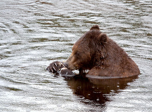 Brown Bear Eating In The Rain