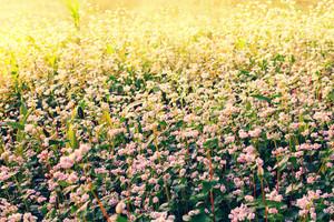 Buckweat field at sunrise