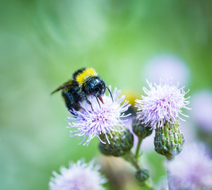 Bumble bee on thistle flower. Beautiful macro.