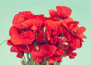 Bunch of red poppy flowers