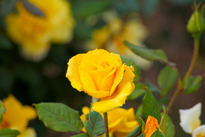 Bush of yellow roses