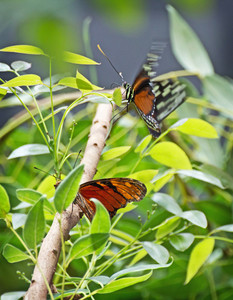 Butterflies On Branch
