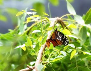 Butterflies On Leaves Branch