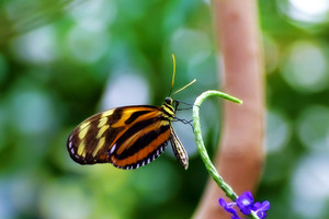Butterfly Isabella Longwing