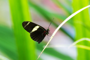 Butterfly Sapho Longwing