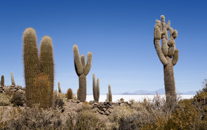 Cacti growing at the edge of a vast desert