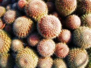 Cactus Flowers Texture