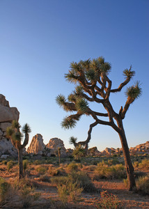 California Joshua Trees