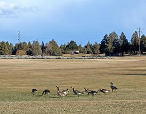 Canada Geese Birds