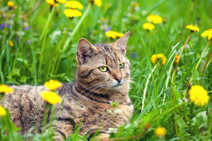 Cat have a rest on dandelion meadow