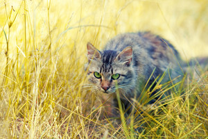 Cat hunting in the tall grass