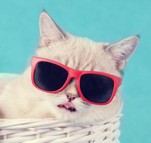 Cat in sunglasses lying in a basket